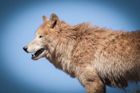 canis: Arctic wolf  (Canis lupus arctos) on grass with blue sky Stock Photo