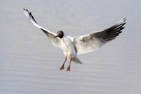 black headed: Black headed gull (Larus ridibundus) in flight