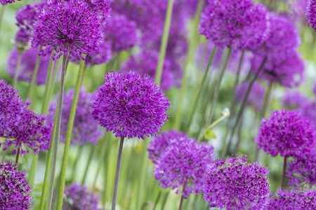 Allium (Allium Giganteum) in full flower Stock Photo