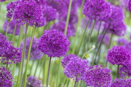 allium: Allium (Allium Giganteum) in full flower Stock Photo