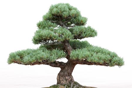 Bonsai pine tree on a white background