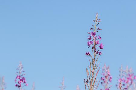 angustifolium: willow-herb, Chamaenerion angustifolium, Epilobium angustifolium, Rosebay Willowherb Stock Photo