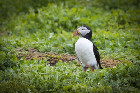 skomer: Puffins (Fratercula arctica) in the farne islands