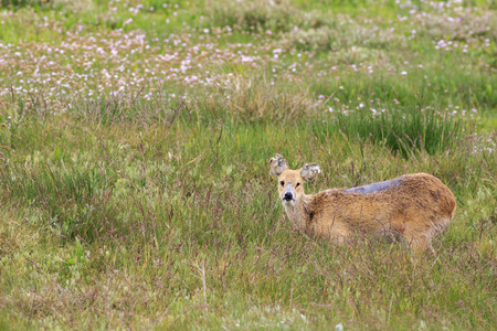 asia deer: chinese water deer (Hydropotes inermis) in the UK Stock Photo