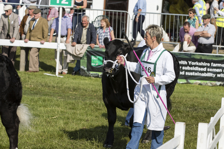 showground: Harrogate, North Yorkshire, UK. 15th July, cow being judged at the Great Yorkshire Show 15th July, 2015 at Harrogate in North Yorkshire,  England