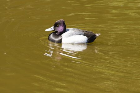 canard: Tufted Duck - Aythya fuligula, swimming on a lake.