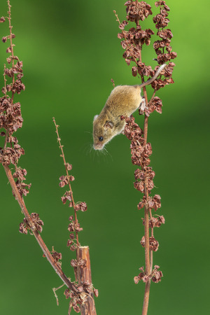 burrows: Harvest mouse (Micromys minutus) close-up