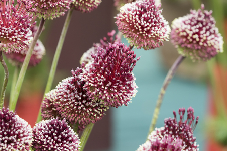 florets: allium mohican - Red Mohican Wine red florets