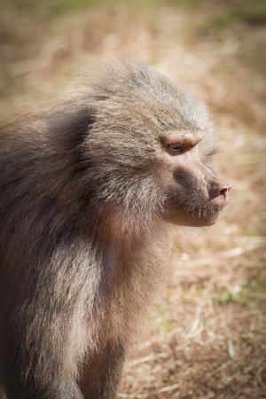 primate: Hamadryas baboon (Papio hamadryas) african primate