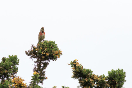 perched: linnet (Carduelis cannabina) perched in a bush