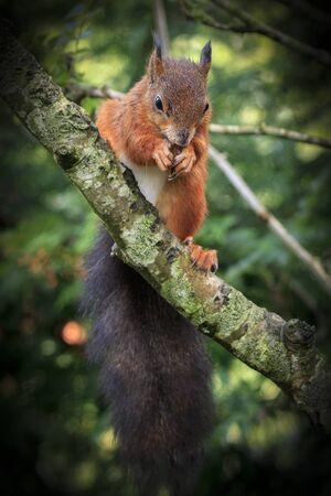 red squirrel: Red squirrel (Sciurus vulgaris) eating close-up