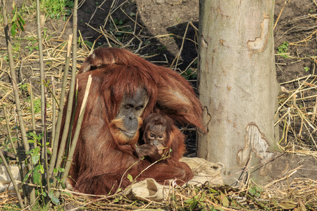 sumatran: Sumatran orangutang mother and child sitting together