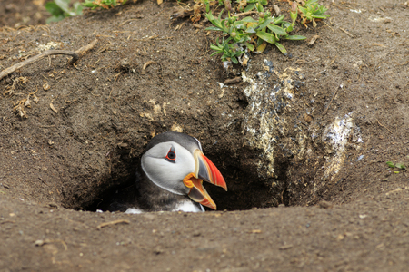 skomer: Puffins (Fratercula arctica) in the nest Stock Photo
