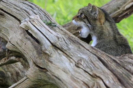 hiss: Scottish Wildcat (Felis silvestris) prowling in the wild