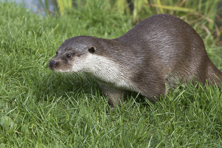 poacher: Otter (Lutra lutra) in the wild Stock Photo