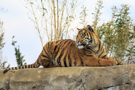 sumatran: Beautiful and endangered Sumatran Tiger