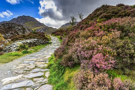 snowdonia: Heather in flower in Snowdonia national park Wales