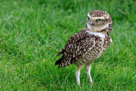 burrowing: Burrowing owl (Athene cunicularia) on grass