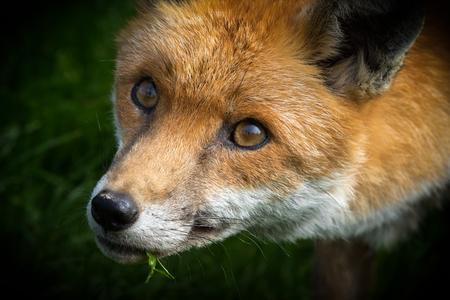 red fox: Red Fox (Vulpes vulpes) on grass close-up