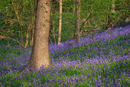 bluebells: Beautiful spring forest with carpet of bluebells