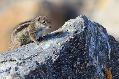 barbary: Barbary ground squirrel (atlantoxerus getulus) on a rock