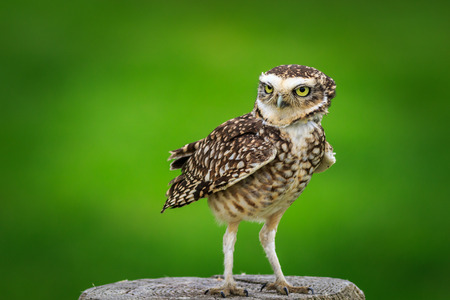 burrowing: Burrowing owl (Athene cunicularia) perched on a stump
