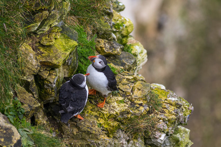 Puffin on the edge on the Yorkshire coast