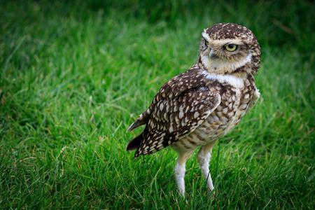 athene: Burrowing owl (Athene cunicularia) on grass