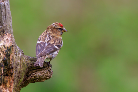 lesser redpoll  (Acanthis cabaret) perched on a branch