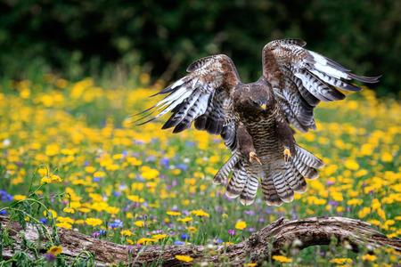 zopilote: Un aterrizaje del halcón en una rama. Foto de archivo
