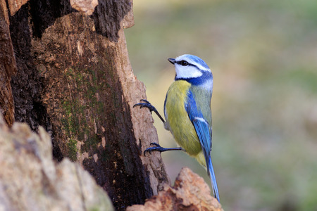 Blue Tit (Parus caeruleus) perched on a branch Stock Photo