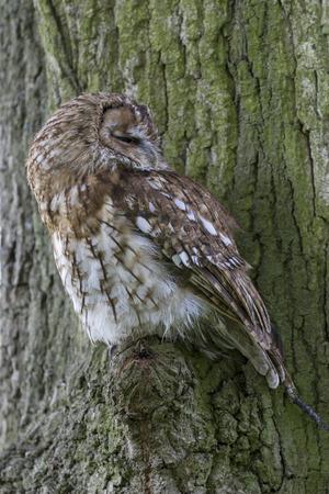 tawny: tawny owl (Strix aluco) perched in a tree Stock Photo
