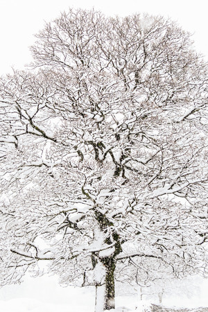 A beautiful tree in winter with snow