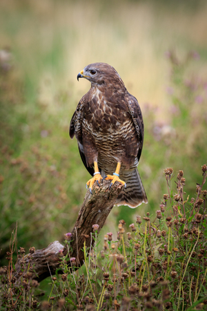 A buzzard  perched on a branch Stock Photo