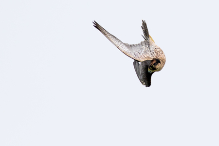 New zealand falcon (Falco novaeseelandiae) Stock Photo