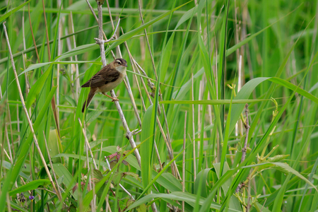 Sedge warbler (Acrocephalus schoenobaenus) in a reed bed Stock Photo