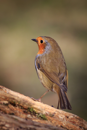 erithacus rubecula: Robin (Erithacus rubecula) perched on a branch Stock Photo