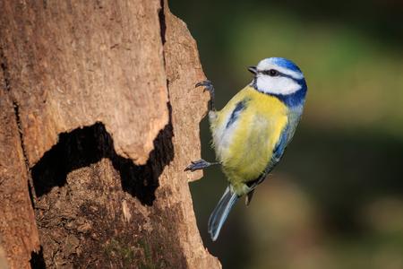 Blue Tit (Parus caeruleus) perched on a branch Stock Photo