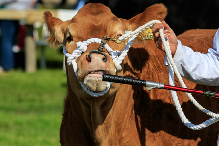 Harrogate, England - July 15th, 2015: cow being judged at the Great Yorkshire Show 15th July, 2015 at Harrogate in North Yorkshire,  England