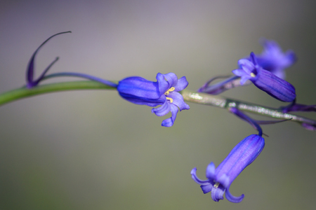 Bluebell wild flowers that grow in the UK