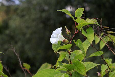 Bindweed (Convolvulus arvensis) in flower growing in the UK