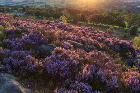 Heather in flower at sunset in Halifax West Yorkshire UK.