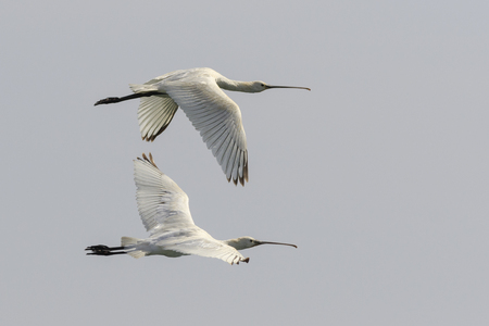 Spoonbill in flight in fuerteventura Spain.