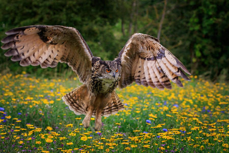 Eagle owl in flight over wild flowers Stock Photo