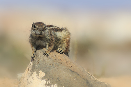 Barbary ground squirrel (atlantoxerus getulus) on a rock  in fuerteventura Spain. Banco de Imagens - 101526220
