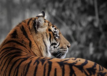 Beautiful and endangered Sumatran Tiger