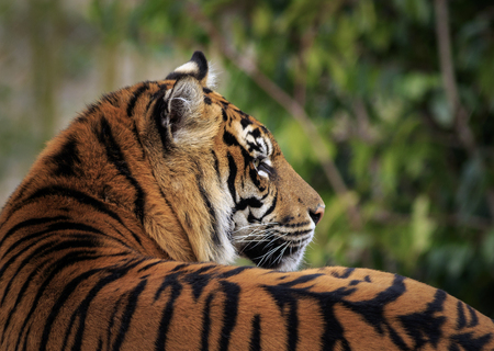 Beautiful and endangered Sumatran Tiger