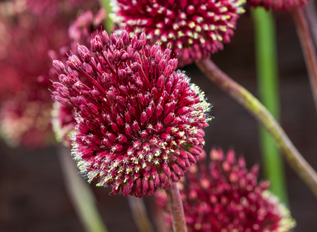Red Mohican Allium in full flower close_up 스톡 콘텐츠