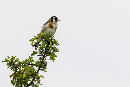 Goldfinch perched in a tree