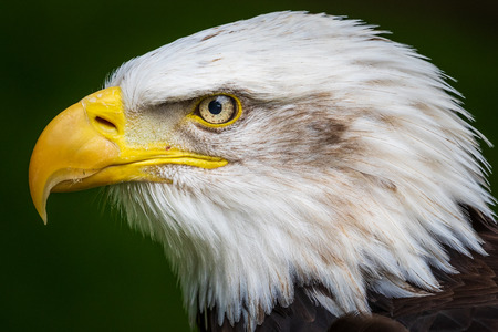 Bald eagle (Haliaeetus leucocephalus) close-up head shot Reklamní fotografie - 105941447